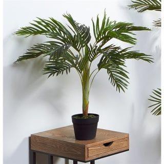 KENTIA 70CMS PLANT