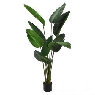GREEN PARADISE AVE LEAF PLANT 95X155
